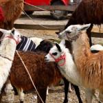 alpacas-para-comer